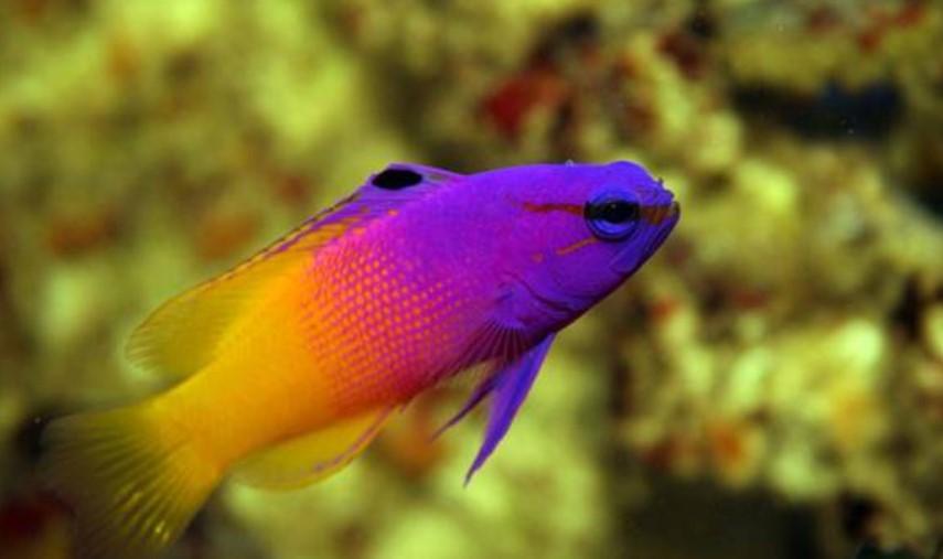 Ikan hias air laut - dottyback