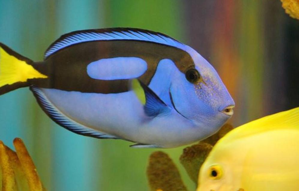 Ikan hias air laut - Blue Tang