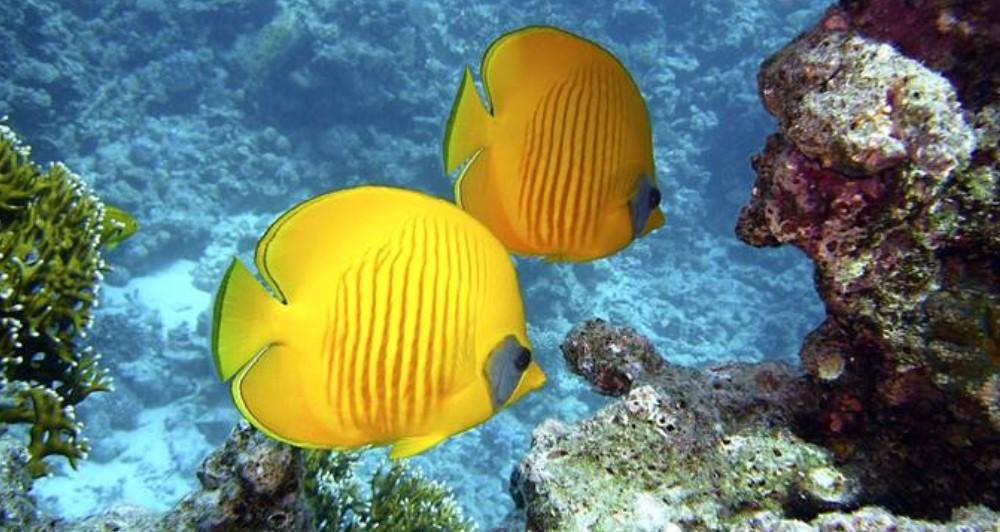 Ikan Hias Air Laut - Butterfly fish