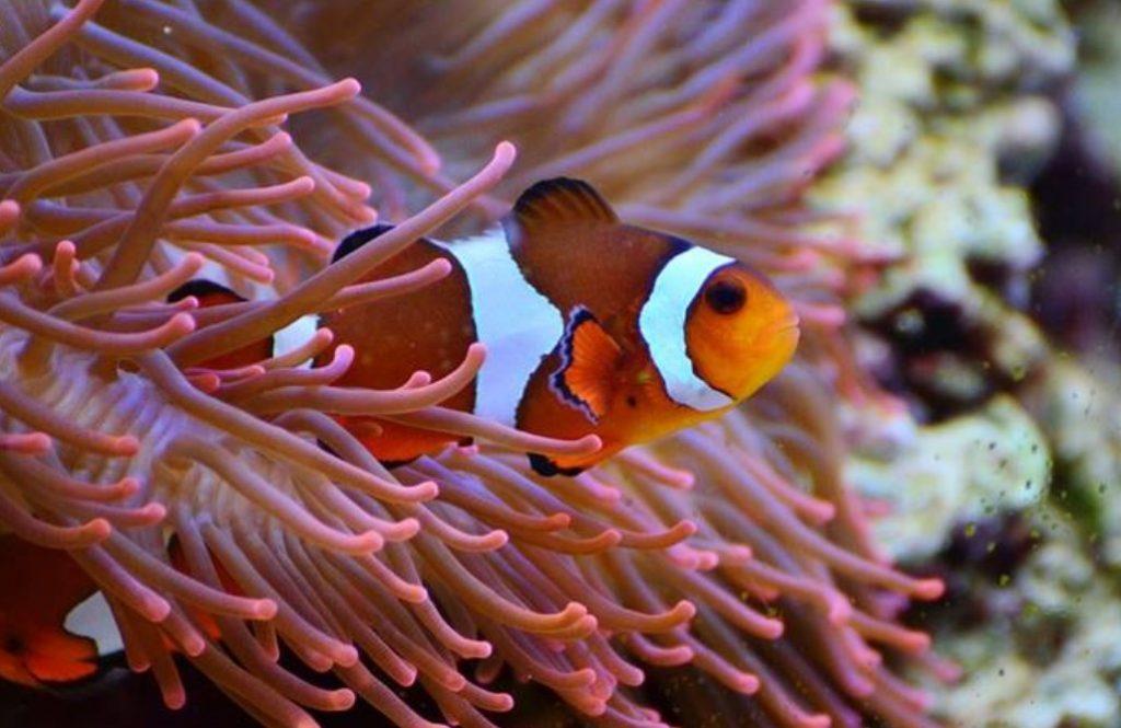 Ikan Hias Air Laut - Clownfish