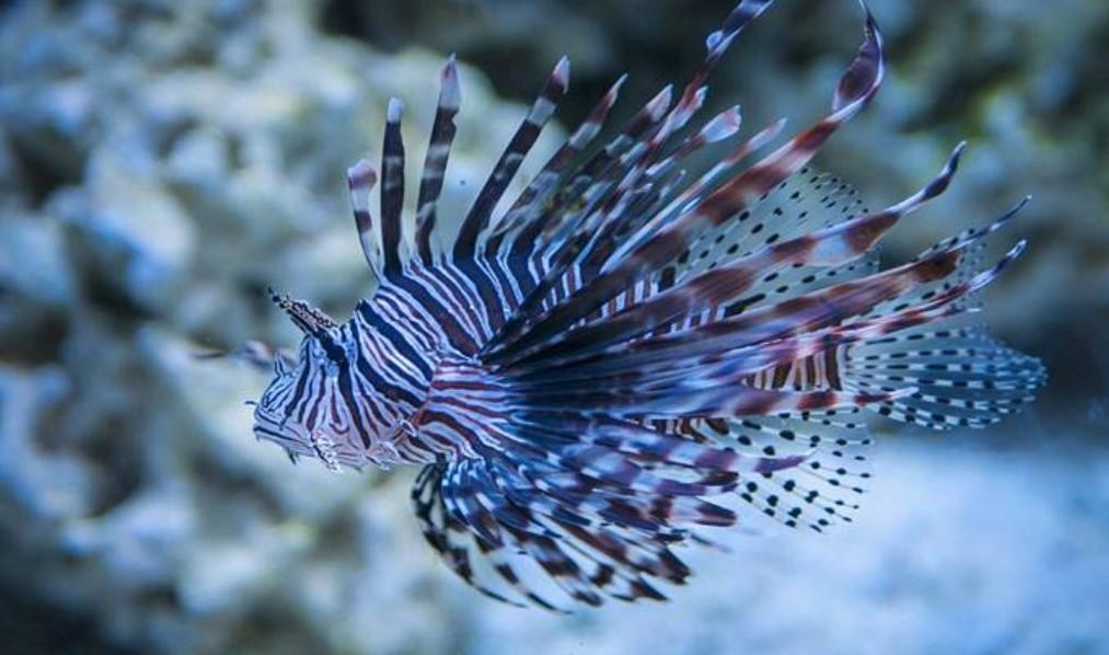 Ikan Hias Air Laut - Lion fish