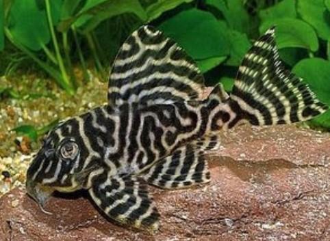 Ikan Hias Sapu