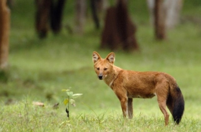 gambar fauna - ajag anjing hutan