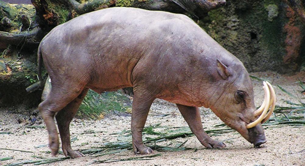 gambar fauna - babi rusa