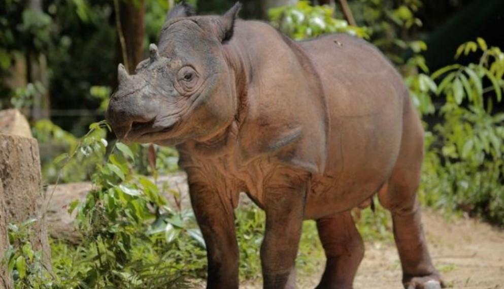 gambar fauna - badag sumatra