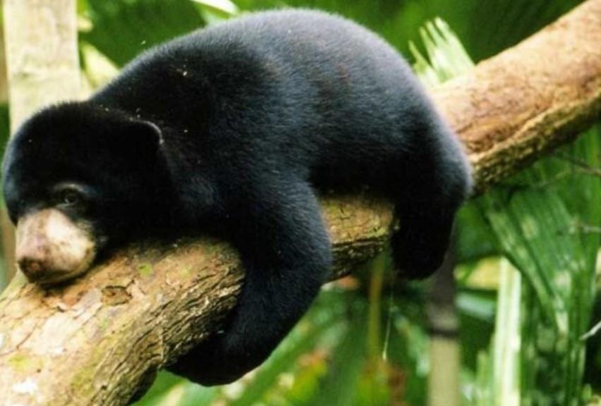 gambar fauna - beruang madu kalimantan