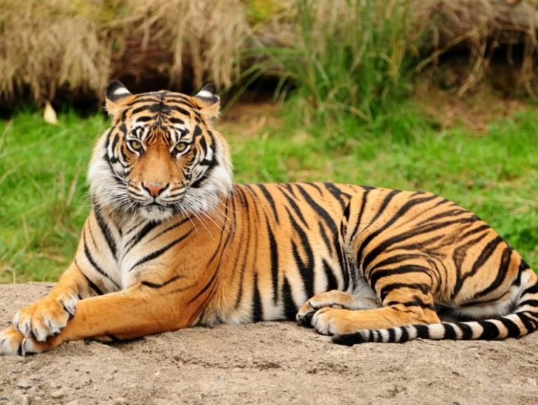 gambar fauna - harimau sumatra