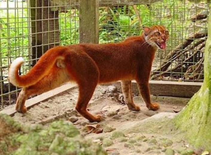 gambar fauna - kucing merah kalimantan