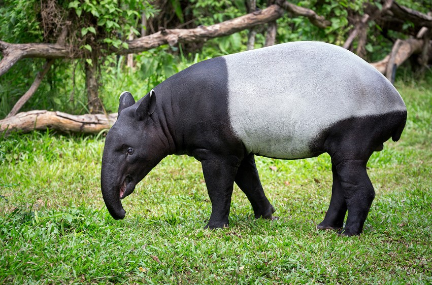 gambar fauna - tapir