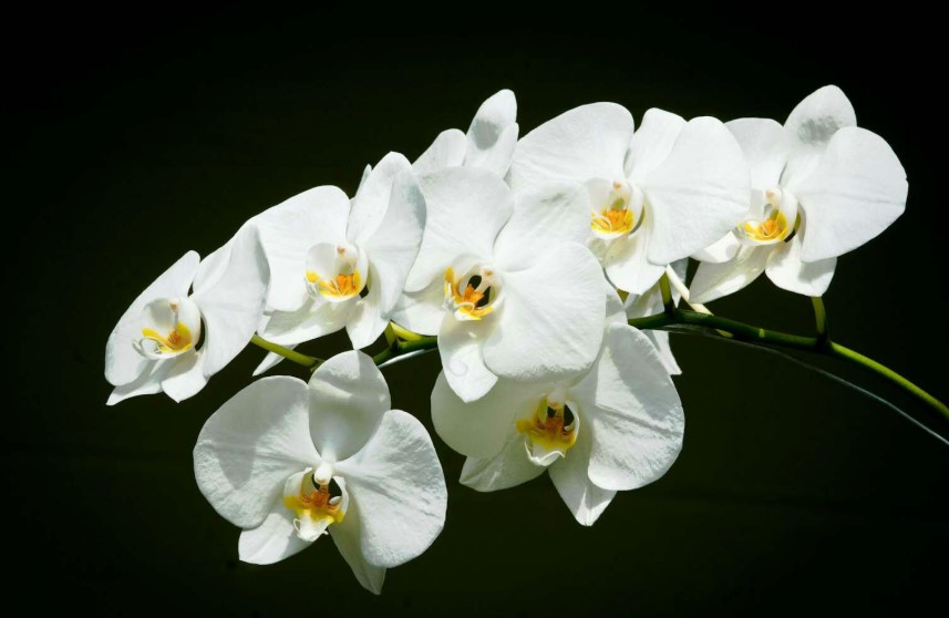 gambar Bunga anggrek bulan - flora indonesia