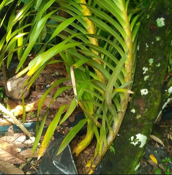 gambar Bunga anggrek tebu- flora indonesia