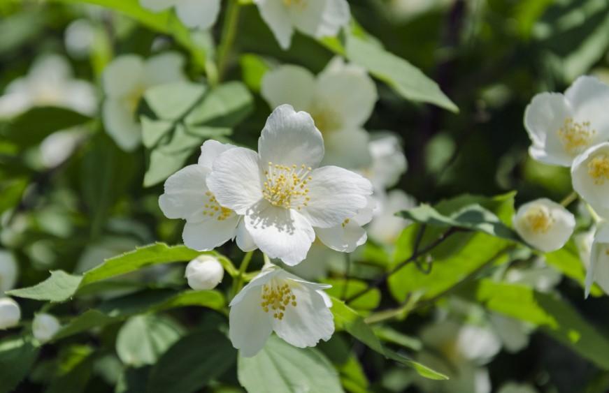 gambar Bunga melati- flora indonesia