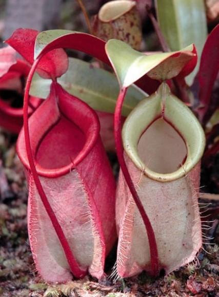 gambar entuyut - kantong semar- flora indonesia