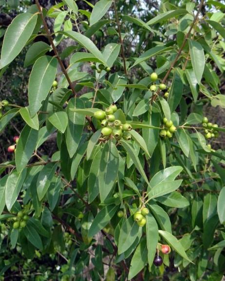 gambar flora indonesia - pohon cendana