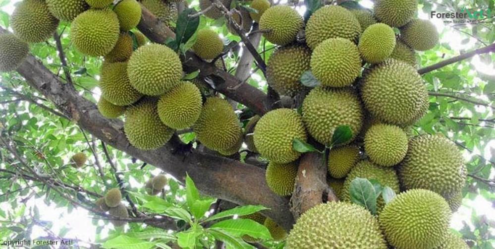 gambar flora indonesia - pohon durian