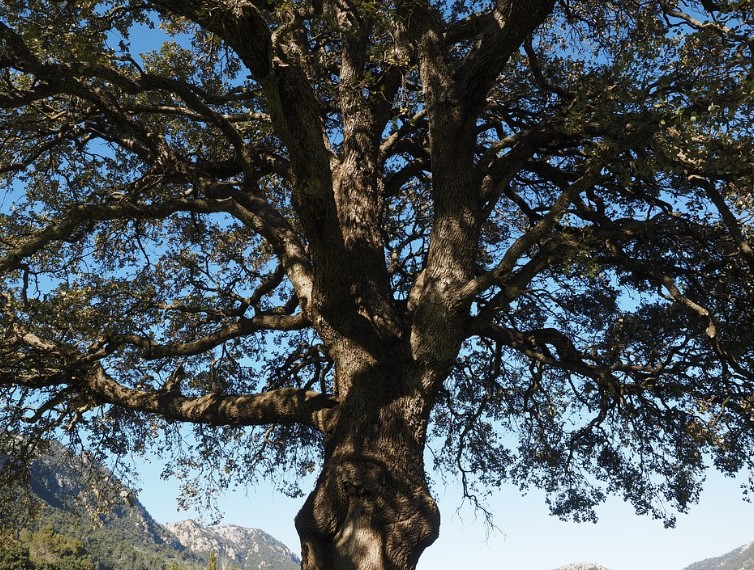 gambar flora indonesia - pohon kapur