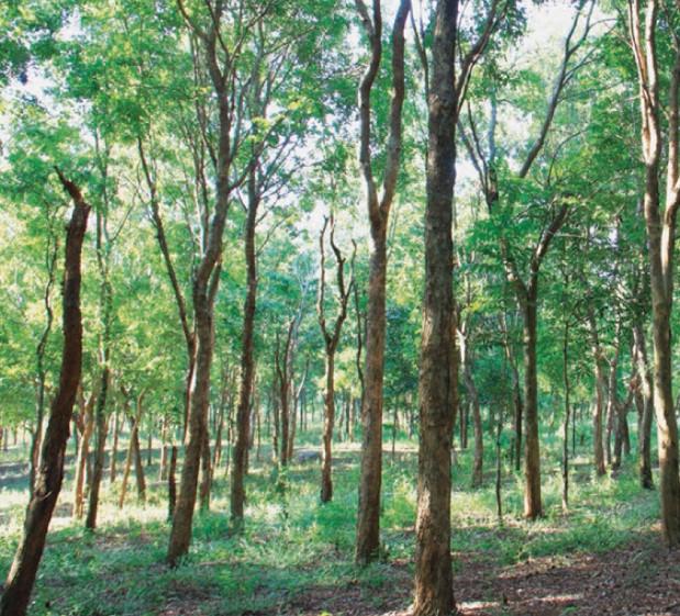 gambar flora indonesia - pohon damar